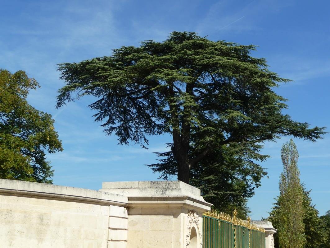 Cèdre du Liban, parc du château de Trianon, Domaine de Versailles, Yvelines
