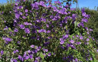 Arbre à gentiane, morelle de Rantonett, Solanum rantonettvi, en été dans le Jardin des plantes, Paris 5e (75)