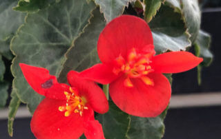 Bégonia tubéreux hybride à petites fleurs rouges en été sur mon balcon parisien, Paris 19e (75)