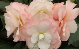 Begonia tubéreux hybride, Hampton Court Garden Festival (UK)