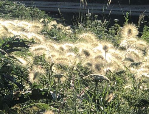 Quand le soleil joue dans les épis des herbes aux écouvillons