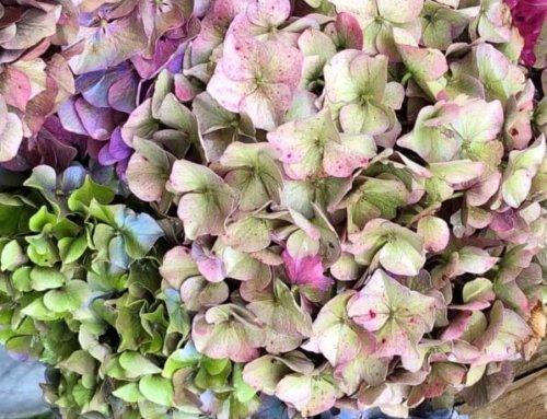 Bouquets d'hortensia hauts en couleurs