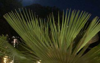 Palmier sous la pleine lune, Jardin des plantes, Orléans (45)