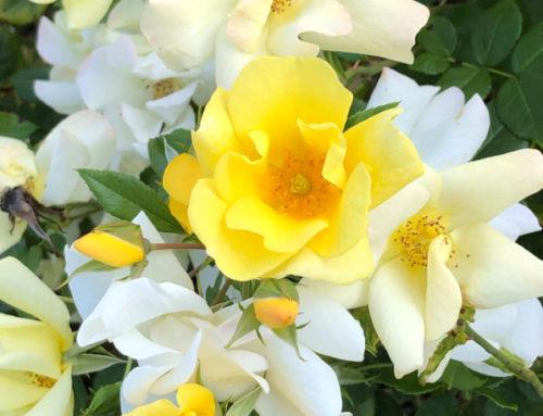 Rosier 'Pretty Star' croulant sous les roses en fin d'été