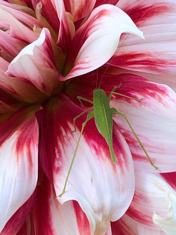 Sauterelle verte sur fleur de dahlia, parc floral de Paris, Paris 12e (75)