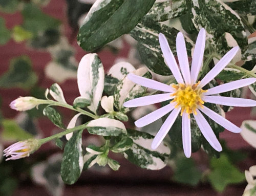 Premières fleurs de l'Aster ovatus 'Hakikomi Fu'