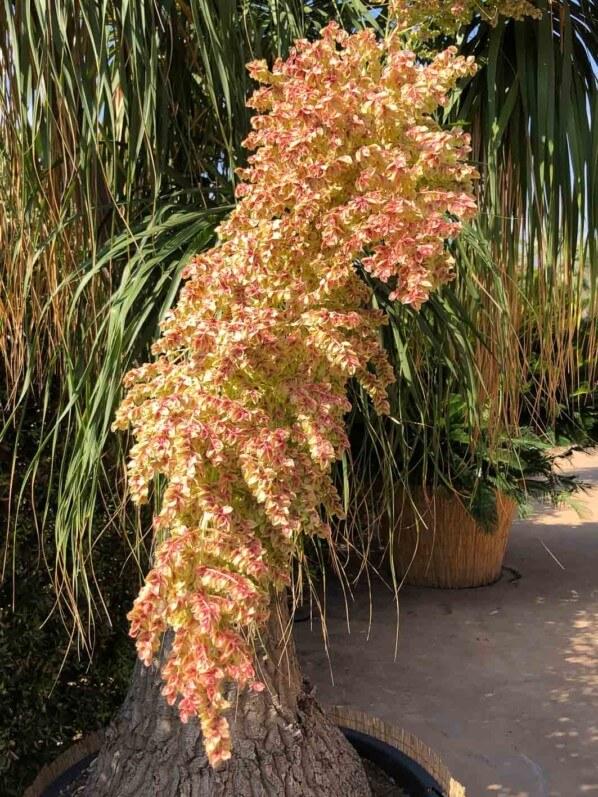 Floraison du Beaucarnea recurvata, pépinière Plante Faro, Giarre, voyage en Sicile avec l'AJJH, Sicile, Italie
