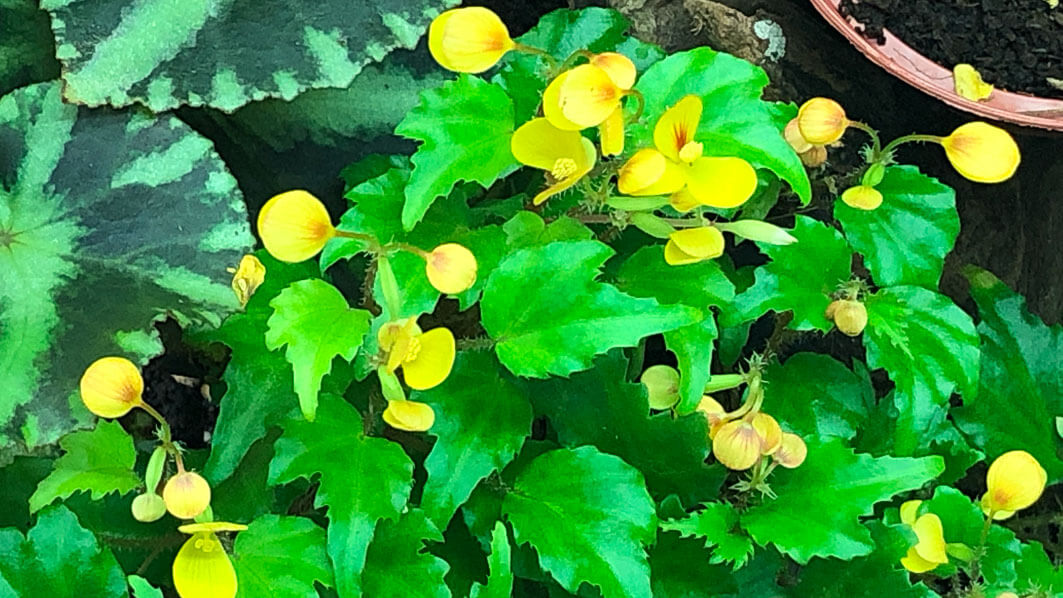 Begonia prismatocarpa, terrarium, plante d'intérieur, Paris 19e (75)
