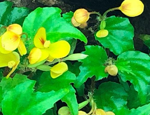 Begonia prismatocarpa aux fleurs jaune d'or