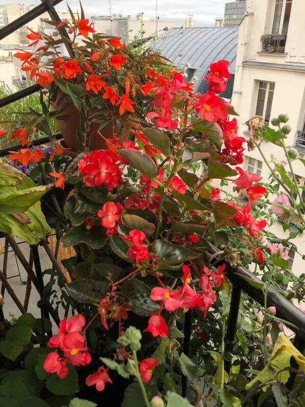 Potées de bégonias en fin d'été sur mon balcon parisien, Paris 19e (75)