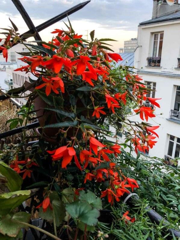 Begonia x tuberhybrida en suspension en début d'automne sur mon balcon parisien, Paris 19e (75)
