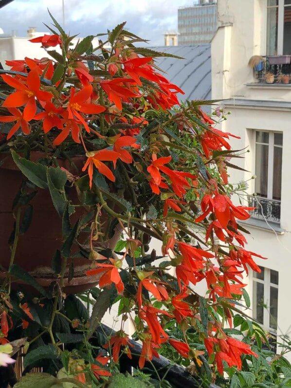 Begonia x tuberhybrida en en début d'automne sur mon balcon parisien, Paris 19e (75)
