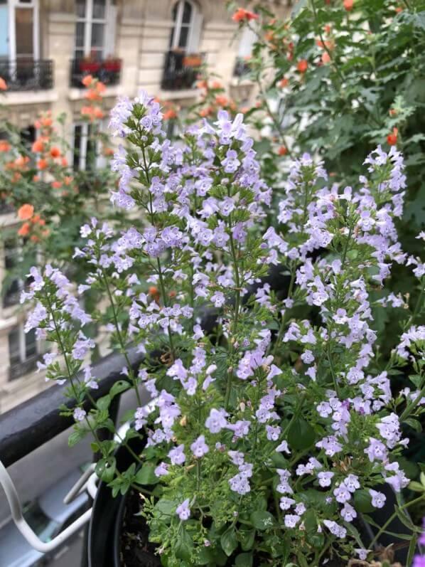 Calamintha nepeta ssp. nepeta 'Triumphator' en début d'automne sur mon balcon parisien, Paris 19e (75)