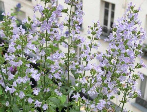 Calament 'Triumphator', un nuage de fleurettes