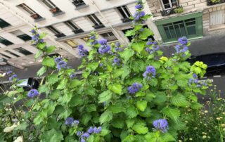 Caryopteris clandonensis 'Good as Gold' en fleur en début d'automne sur mon balcon parisien, Paris 19e (75)