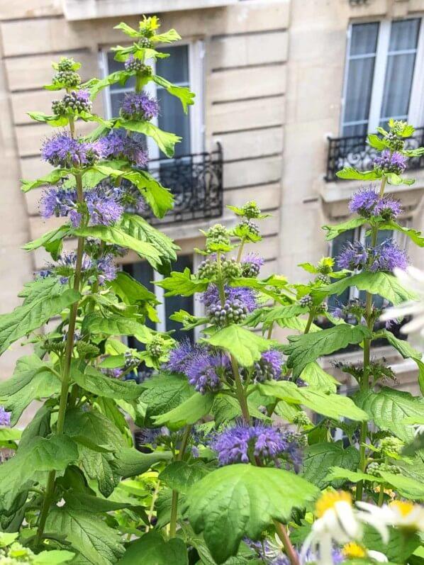 Caryopteris x clandonensis 'Good as Gold' en fin d'été sur mon balcon parisien, Paris 19e (75)