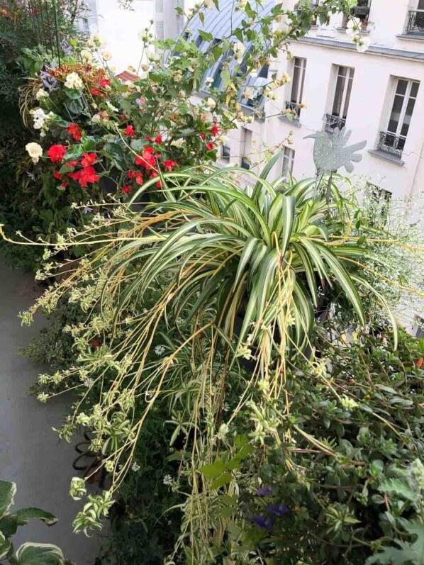 Potées de Chlorophytum et de bégonia en fin d'été sur mon balcon parisien, Paris 19e (75)