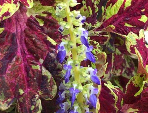 Floraison du coléus (Solenostemon) 'Muriel Pedley'