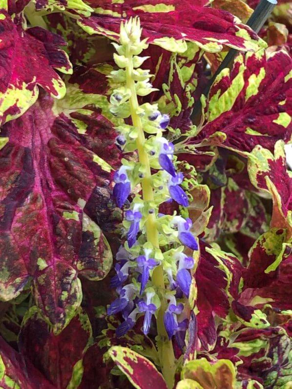 Floraison d'un coléus (Solenostemon) 'Muriel Pedley' en automne sur mon balcon parisien, Paris 19e (75)