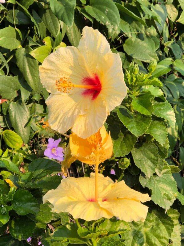 Hibiscus x rosa-sinensis, Malvacées, voyage en Sicile avec l'AJJH, Sicile, Italie