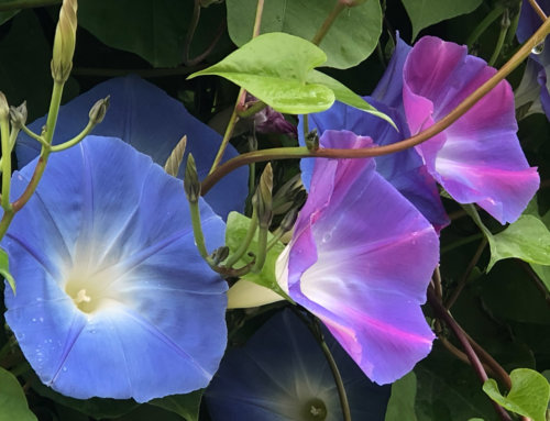 Un été et un automne en bleu avec l'ipomée 'Heavenly Blue'