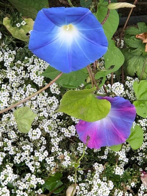 Ipomée 'Heavenly Blue' en début d'automne dans le Jardin des Plantes, Paris 5e (75)