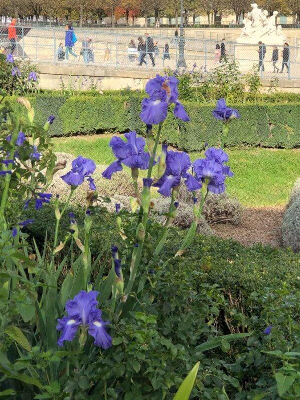 Iris bleu en automne dans le Jardin des Tuileries, Domaine du Louvre, Paris 1er (75)