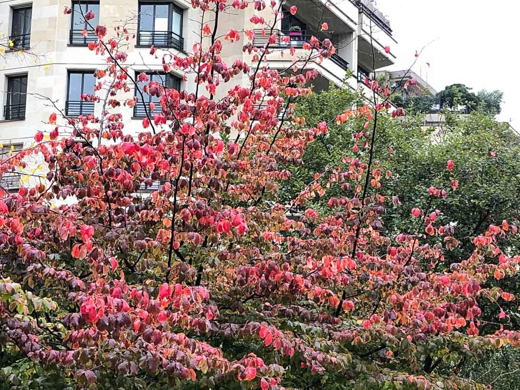 Arbre de fer, Parrotia persica, en automne dans le parc de Passy, Paris 16e (75)
