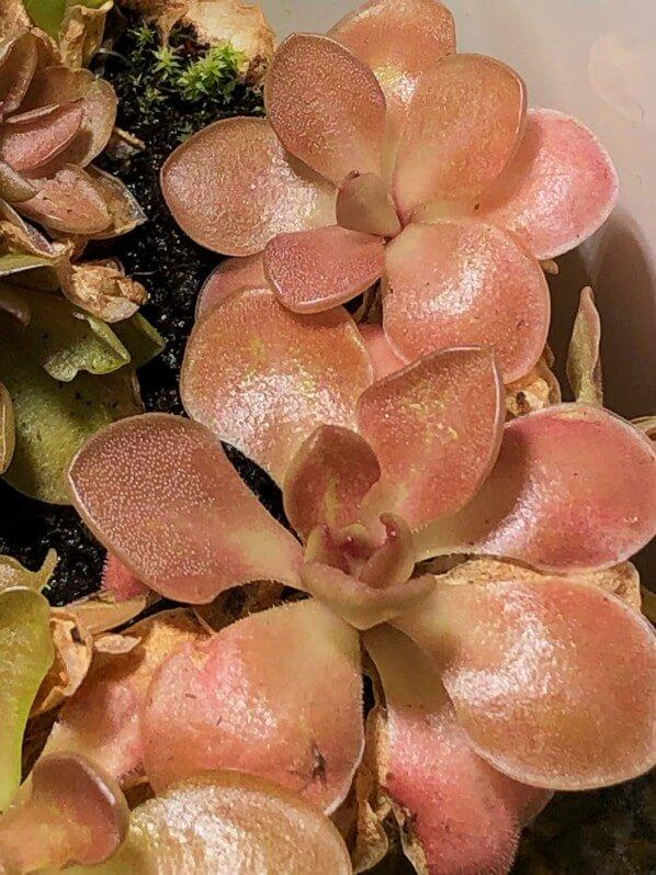 Pinguicula 'Weser', plante carnivore, plante d'intérieur, Paris 19e (75)