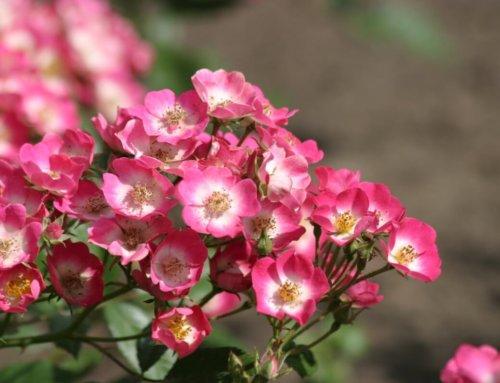 Rosanatura, une nouvelle gamme de rosiers pour des jardins plus naturels et sauvages