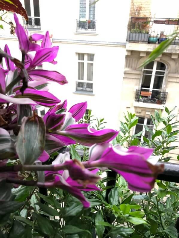 Tradescantia 'Nanouk' en début d'automne sur mon balcon parisien, Paris 19e (75)