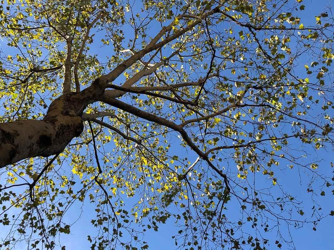 Ramure d'un platane en automne sur fond de ciel bleu, Paris 11e (75)