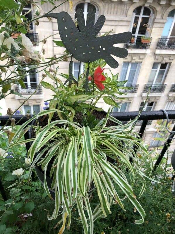 Potée de plantes vivaces, Alstroemeria, en début d'automne sur mon balcon parisien, Paris 19e (75)