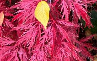 Érable du Japon (Acer palmarium) dans le parc Gustave Eiffel, Levallois (92)