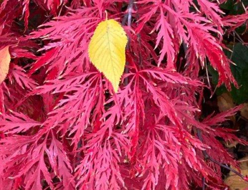 Érable du Japon en parure d'automne flamboyante