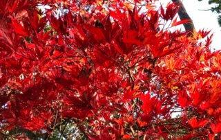 Érable du Japon au feuillage flamboyant en automne dans le parc floral, Paris 12e (75)