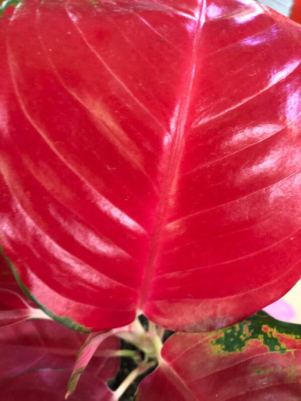 Aglaonema 'Super Red Star', plante d'intérieur, Paris 19e (75)