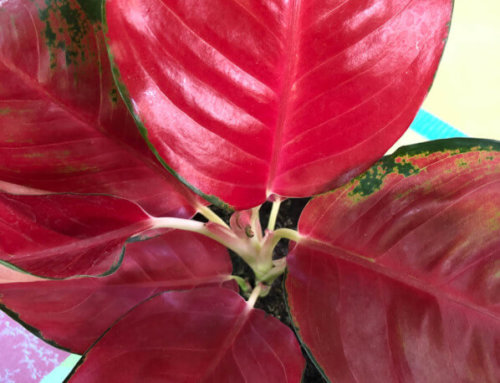 Impossible de faire plus rouge que l'Aglaonema Super Red Star