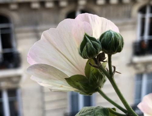 Transparence d'une fleur tardive d'Alcathea 'Parkallee'