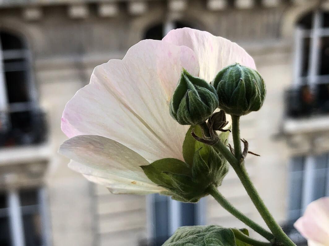 Alcathea x suffrutescens 'Parkallee' en automne sur mon balcon parisien, Paris 19e (75)