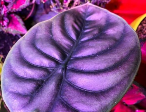 Alocasia cuprea 'Red Secret', du pur métal !