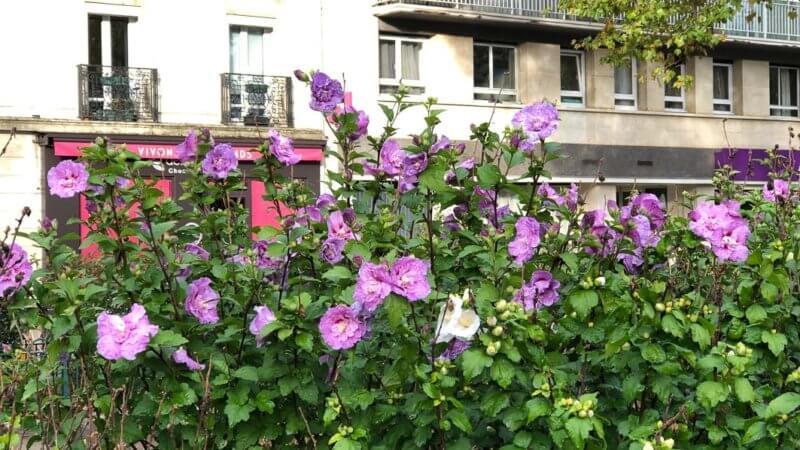 Althéa (Hibiscus syriacus) en pleine floraison en automne dans Paris 12e (75)