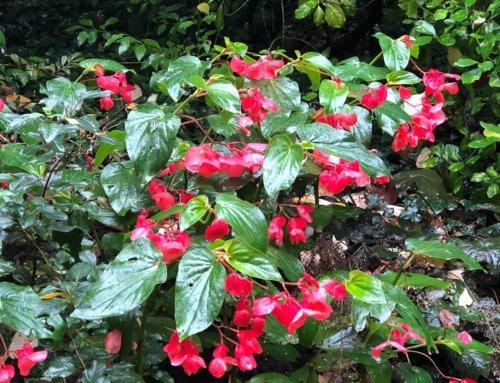 Begonia Dragon Wing toujours superbe et fleuri à la Toussaint