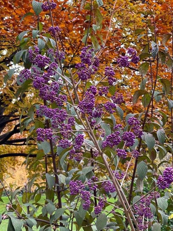 Fruits d'un Callicarpa en automne dans le parc Monceau, Paris 19e (75)