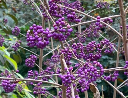 Callicarpa, l'arbuste aux bonbons violets