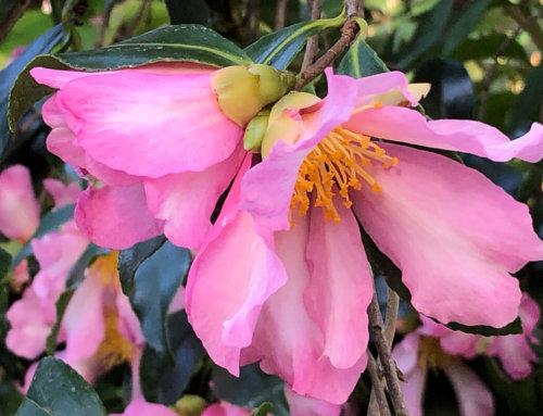 Camellia sasanqua 'Totenko'