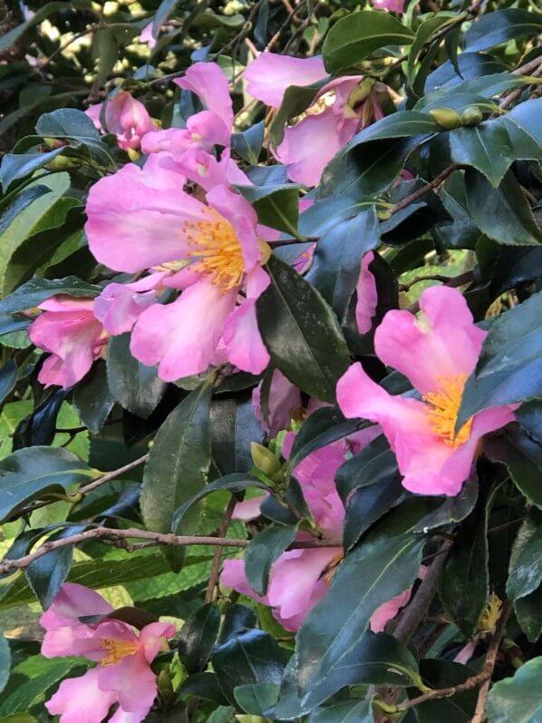 Camellia sasanqua 'Totenko' en automne dans le parc floral, Paris 12e (75)