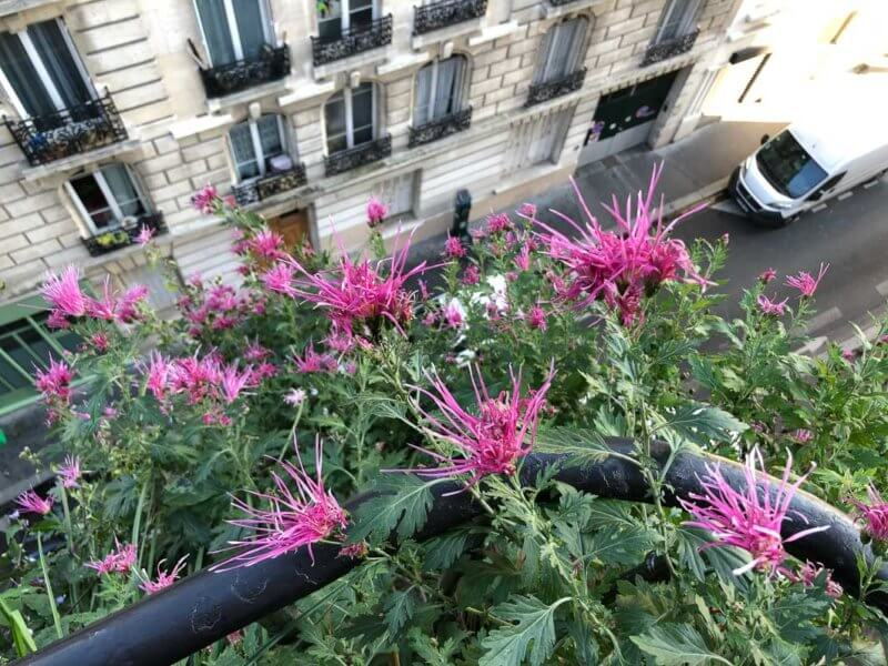 Chrysanthème 'Goshoma Haru', Chrysanthemum 'Goshoma Haru', en automne sur mon balcon parisien, Paris 19e (75)