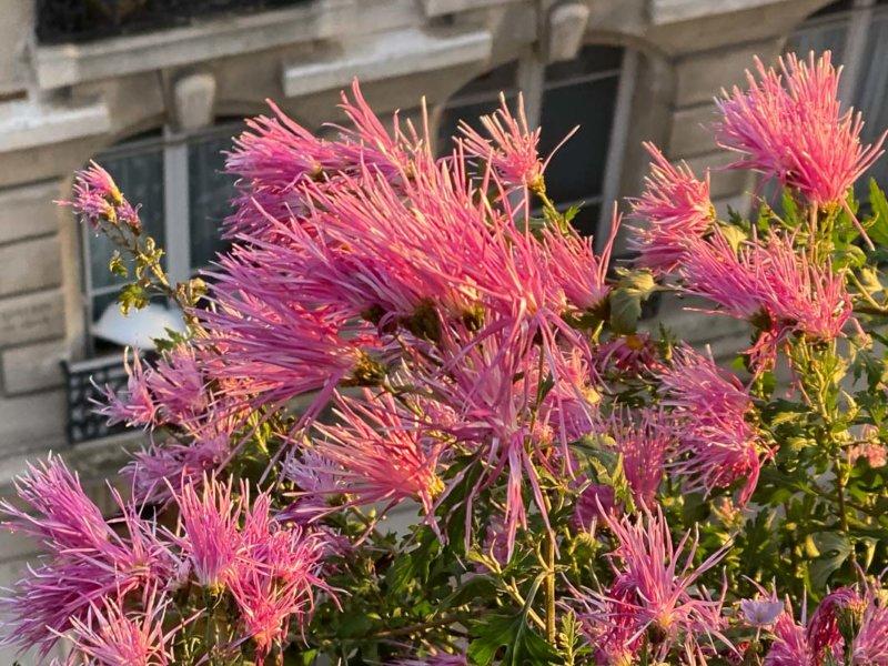 Chrysanthème, Chrysanthemum 'Goshoma Haru', en automne sur mon balcon parisien, Paris 19e (75)