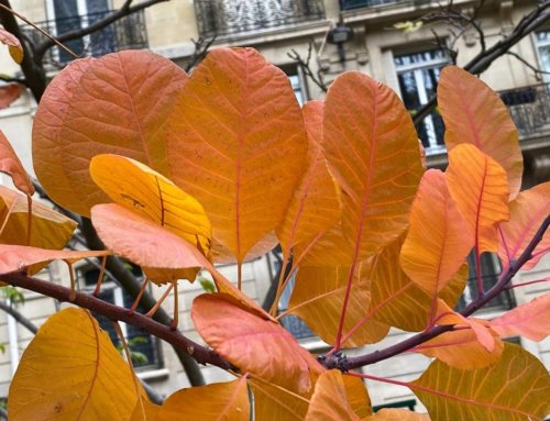 Cotinus en habit d'or